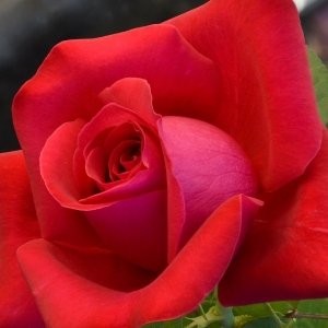 ALACS RED ROSE (RED)