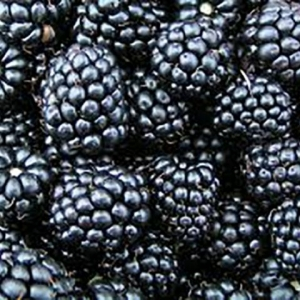 Blackberry (Thorn-less Evergreen)
