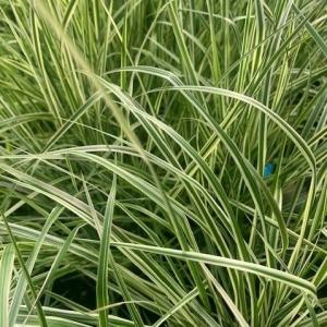 Calamagrostis (overdam)