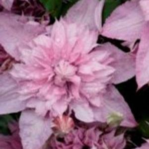 Clematis (multi pink)