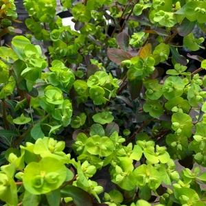 Euphorbia (purpurea)