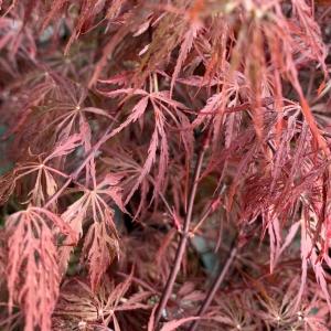 Acer Palmantum (Garnet)