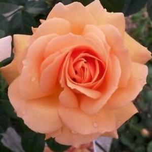 INDIAN SUMMER ROSE (ORANGE)
