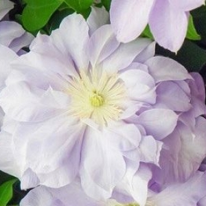 Clematis (Louise Rowe)