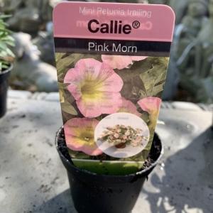 Mini Petunia trailing Callie Pink Morn