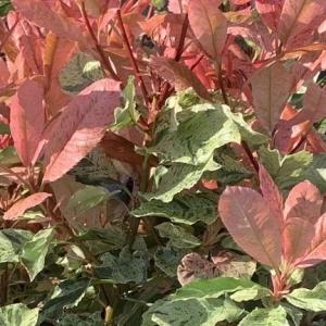 Photinia pink crispy Chinese hawthorn, Chinese photinia Oriental photinia