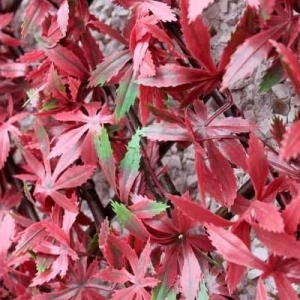 Red Acer Trellis