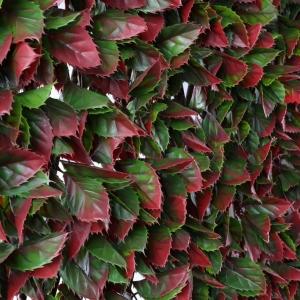 Red Variegated Beech Trellis