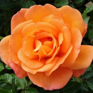 DAWN CHORUS ROSE (ORANGE)