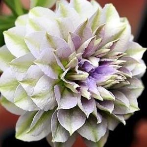 Clematis (ruriokoshi)