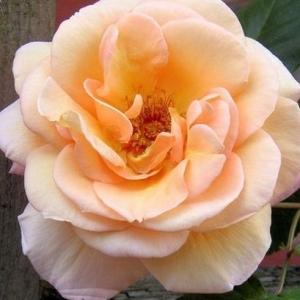 SCHOOLGIRL ROSE (PEACH)