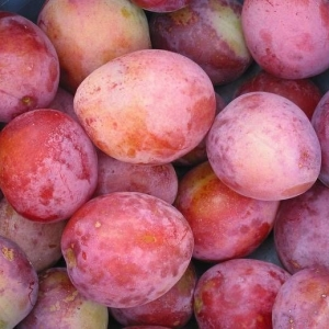 Prunus Domestica Plum (Victoria)