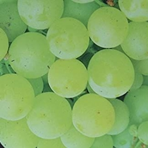 Green Grapes (Vitis Van)