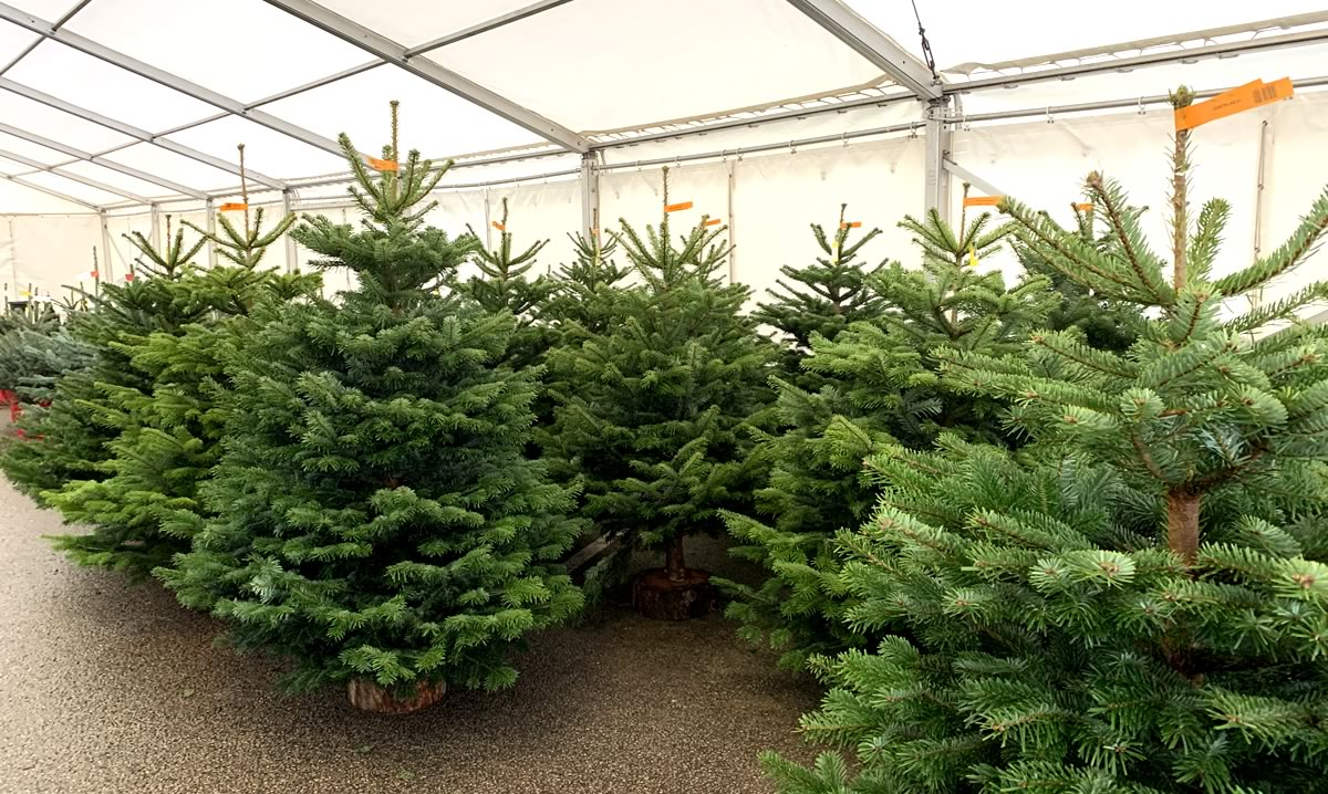 Real Christmas Trees Now On Sale At Hilltop Garden Centre