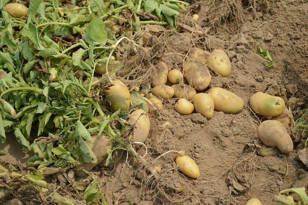 Planting Potatoes in your Garden